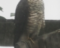 Sparrowhawk - one of the UKs birds of prey